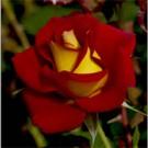Ketchup & Mustard Floribunda Rose
