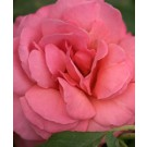 Rose - Easy Elegance® Kiss Me - Shrub