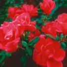 Rose – Red Knock Out® - Shrub