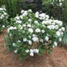 Korean Spice Viburnum Blooming