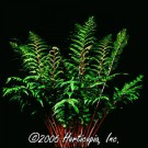 Fern - Lady in Red