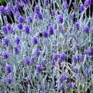 English Lavender - Silver Mist
