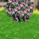 Dwarf Korean Lilac - Tree Form