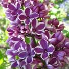 Lilac - Sensation