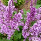 Lilac - Royalty