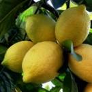 Lemon - Lisbon