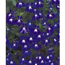 Lobelia - Laguna ™ Compact Blue with Eye