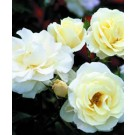 Rose - Easy Elegance® Macy's Pride™ - Shrub
