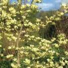 Magnolia - Butterflies