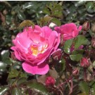 Rose - Magic Meidiland - Shrub