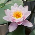 Marliacea Carnea Water Lily