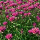 Marshall Delight Bee Balm