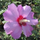 Minerva Rose of Sharon