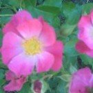 Rose - Miracle Sensation - Shrub