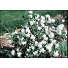 Mock Orange - Snowgoose