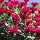 Bee Balm - Gardenview Scarlet