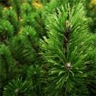 Mugo Pine Tree