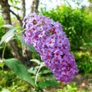 Butterfly Bush - Nanho Purple