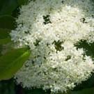 Nannyberry Viburnum Bush