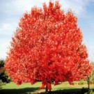 Red Maple - October Glory