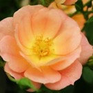Rose - Oso Easy™ Peachy Cream - Shrub