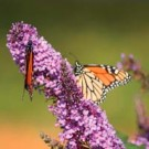 Peacock Butterfly Bush