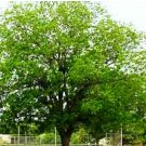 Hardy Pecan Trees