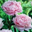 Peony - Sarah Bernhardt