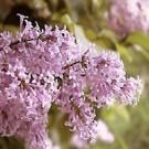 Lilac - Persian