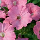 Petunia - Supertunia® Bermuda Beach