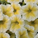 Petunia - Supertunia® Citrus