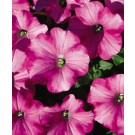 Petunia - Supertunia® Raspberry Blast