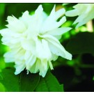Mock Orange - Buckleys Quill