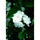 Mock Orange - Miniature Snowflake