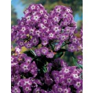 Phlox - Hardy Tall - Laura