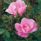 Rose - Pink Knock Out®  - Shrub
