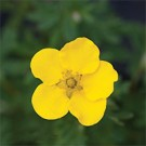 Potentilla - Happy Face
