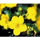Potentilla - Gold Drop