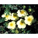 Potentilla - Primrose Beauty