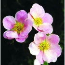 Potentilla - Pink Beauty