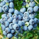 Powder Blue Blueberry Bushes
