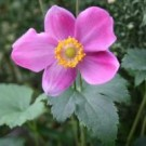 Anemone - Pretty Lady Diana