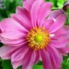 Anemone - Pretty Lady Emily