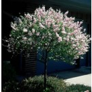 Double Flowering Plum - Tree Form