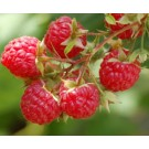 Raspberry - Boyne
