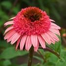 Coneflower - Raspberry Truffle
