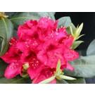Rhododendron - Nova Zembla