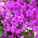 Rhododendron - Korean