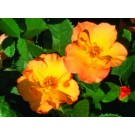 Rose - Morden Sunrise - Shrub