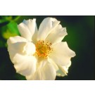 Rose - White Meidiland® - Groundcover